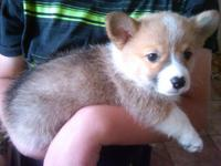 I have beautiful Pembroke Welsh Corgi puppies. They