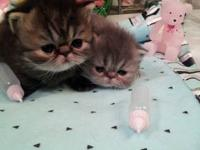 Persian and Himalayan kittens CFA registered. All