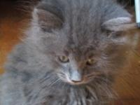 I have an adorable male Doll Faced grey Persian Kitten.