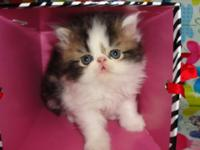 I have three lovable women Persian kittens. They are