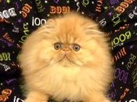 13 week old red Persian male kitten ready to go home!