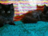 Precious Persian Kittens One male and one female. Very