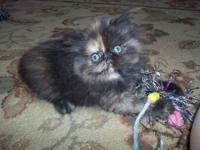 Beautiful Persian kittens 9 weeks old, born 7-9-12, 3