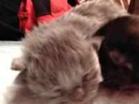 Kittens have arrived ..Beautiful Dollface Persians.