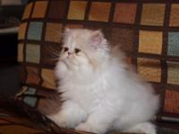 Adorable pure breed Persian kitten available to a