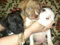 We have 3 beautiful pitbull pups for sale.The pups are
