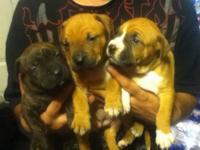 We have 3 precious pit pups for sale,born oct.15,the