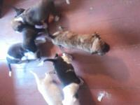 I have five Pitt bull puppies left amazing with kids