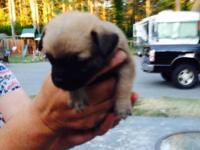 Lovable playful male Chug Puppy, 9 weeks old and ready