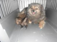We have 3 lovable female pomeranian young puppies that