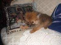 We have 1 cute female pomeranian young puppy to that