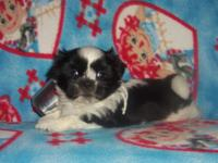 We have 3 Male Shih tzu Puppies that are ready for