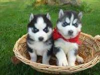 Adorable playful Siberian Husky Puppies. They are ready