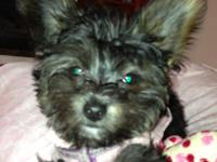 socialized 6 mo. old female Yorkipoo puppy