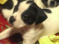 Pocket Bulldog/ Chihuahua puppy mix. 8 weeks old. One