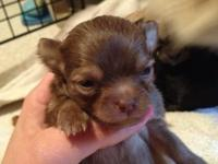 I have 3 adorable Pom chi puppies! Pomeranian and