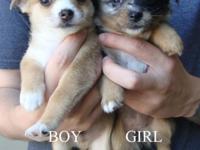 Half Pomeranian, half Chihuahua. Very sweet, held a