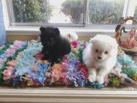 I have 3 adorable pomeranian puppies 2 males and