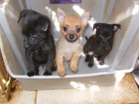 I have 2 adorable black male Pomeranian/Chihuahua mix