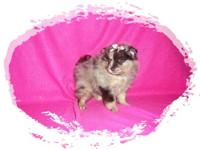 Toy Pomeranian Puppies ! Males & Females. Chocolate