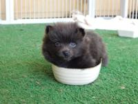 I have four beautiful Pomeranian puppies ready for