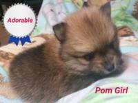 Pomeranian puppies 2 females born August 18th and will