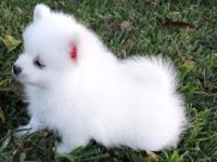 Animal Type: Dogs Breed: Pomeranian This puffy snow