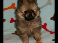 Simply lovable male pomeranian young puppies born