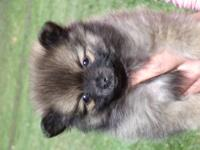 Hi I have 4 adorable purebred Pomeranian pups ready to