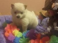 Beautiful Pomeranian babies. I have 3 females left. All