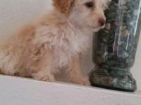 I have a beautiful female poodle...she was born 12/18.