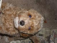 I have 3 male adorable baby poodle pups here. They have