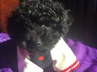 10 WEEK OLD TOY POODLE VERY CUTE AND FLUFFY ONLY $650