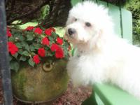 one available poodle, the White color poodle is a male.