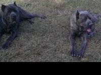 AVAILABLE IMMEDIATELY!!! Pups are cane corso, presa