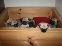 Cute pug new puppies. Our pug young puppies have first