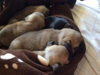 Adorable pug puppies (2 fawn girls, 2 fawn boys and 1