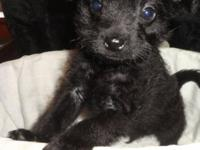 Strong black pugapoo young puppy. He is a little shy