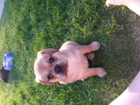 These adorable 2nd generation puggles puppies will be