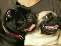 I have a Rare black male pug and a fawn female pug.