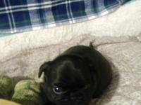 Beautiful Pugs for sale. 2 charcoal colored male dogs.