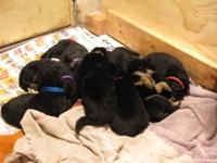 One puppy left among eight of the cutest puppies. Ready