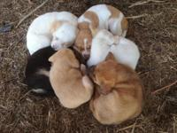 We have six adorable puppies born on March 8, 2015, 5