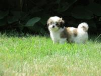 Definitely lovable teacup Shihtzu/Longhair Chihuahua