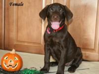AKC Labrador Retriever Puppies born on 8/1/15. These
