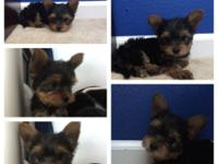 We have 2 adorable purebred yorkie infants looking for