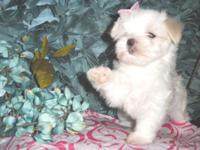 """Lady"" Female Maltese - Full Breed Born June 10 2015"