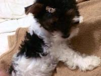 An adorable male Biewer Yorkie for sale,registered and