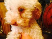 BEAUTIFUL PUREBRED AKC FEMALE TOY POODLE PUPPIES, BORN