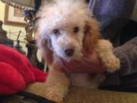 STUNNING , PUREBRED, AKC REGISTERED, TOY POODLE MALE